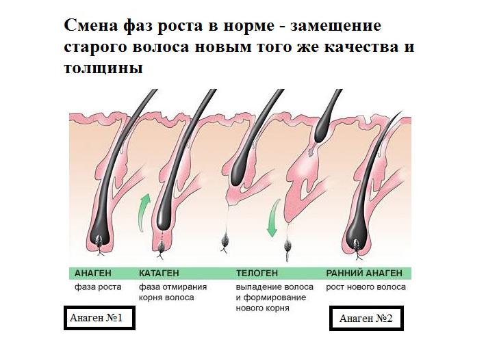 Фазы жизни волос