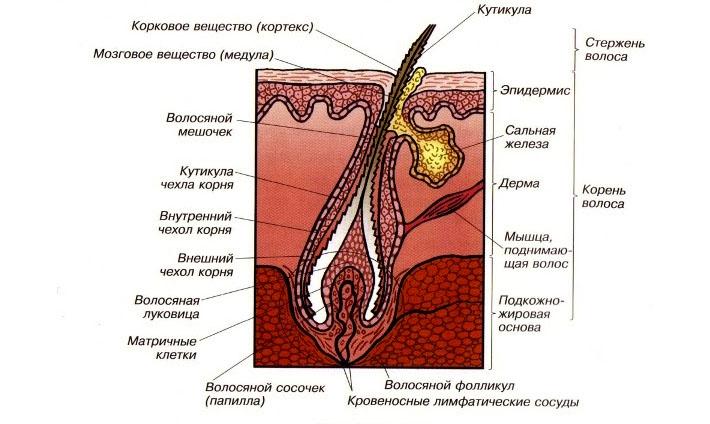 Структура волос